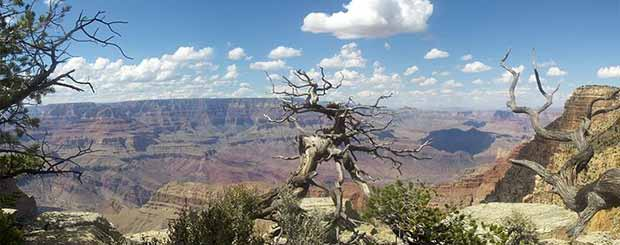 An old tree in the Grand Canyon on a beautiful day.
